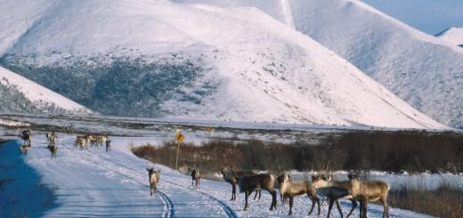 Dempster_Highway_Caribou_AR
