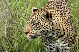 LeopardBotswana(c)VeronikaZieglerKarawaneReisen