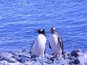 Antarktis_zwei_Pinguine_Karawane_Reisen