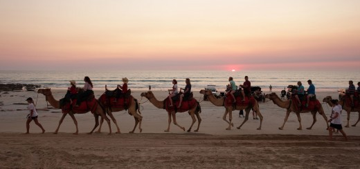 Australien_Darwin_Broome_Savannah_Way_Kamele