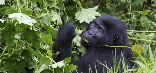 Gorilla_KarawaneReisen