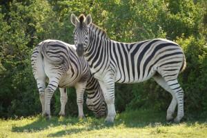 zebras_suedafrika_karawanereisen_bfs