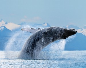 Whale breaching, Hawaii