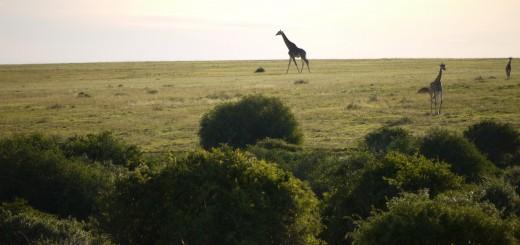 Giraffen_Shamwari_Karawane_BFS