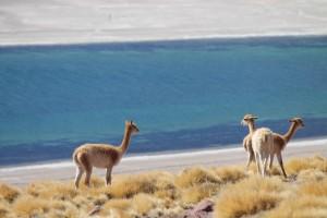 Atacama_Vicunas_KarawaneReisen