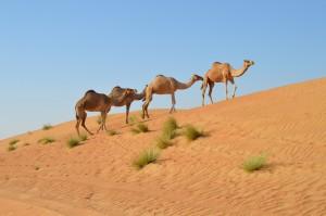 Oman_WahibaSands_Kamele_Karawane
