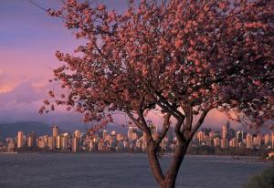 Kirschblueten_in_ Vancouver_BC_TravelAlberta_DestinationBC