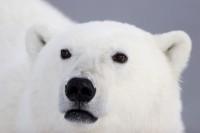01874-106.12 Polar Bear (Ursus maritimus)  Churchill, M