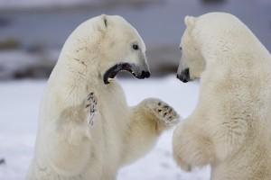 01874-106.18 Polar Bears (Ursus maritimus) sparring, Churchill, M