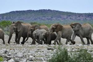 ElefantenBotwana(c)FelixFaigle,KarawaneReisen