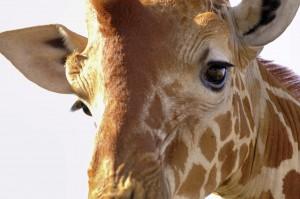 Giraffe_Lutz_Fohrer