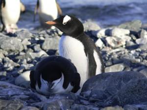 Pinguine_KarawaneReisen