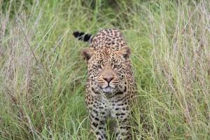 Botswana_Leopard_BFS_KarawaneReisen_