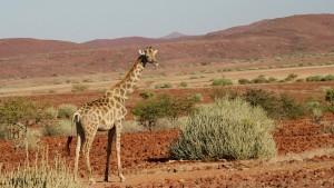 Namibia_Giraffe_TerraVista