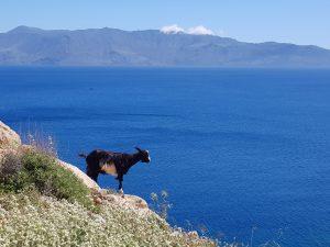 Ziege_c_Karawane-300x225 Kretas rosa Strand mit einer neuen Reise von Karawane besuchen